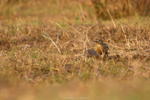 Jerdon's Bush Lark (Mirafra affinis) foraging on cow dung.
