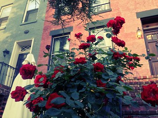 Rose season in Georgetown