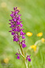 Anacamptis morio (The Green-winged Orchid)