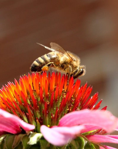 Biene auf Sonnenhut by monkeykong
