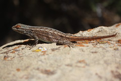 Lizard at the Grand Canyon