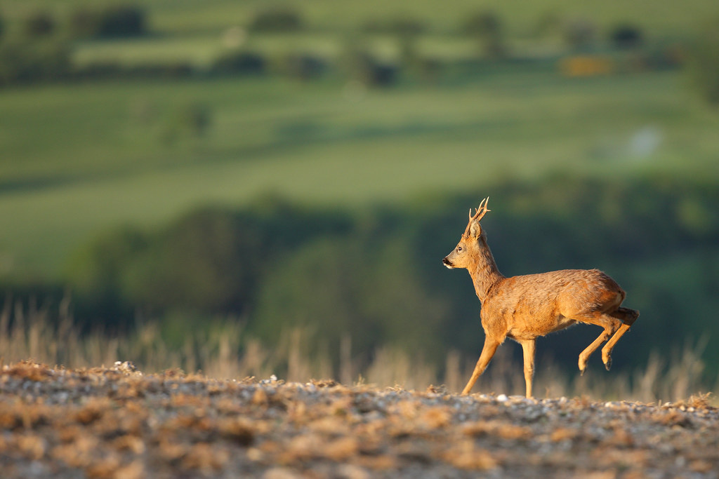 Roe deer hopping away