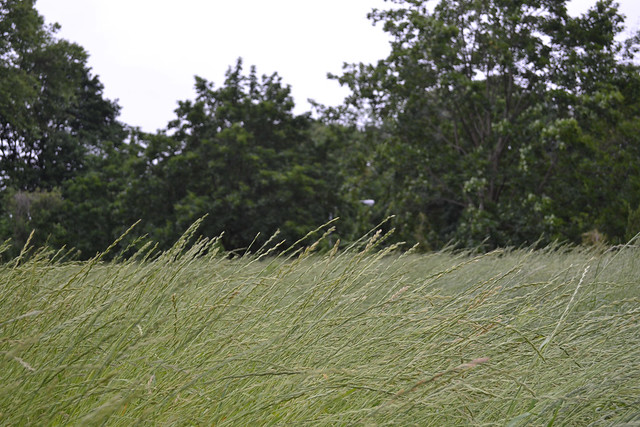 Grass blowing in the wind in the Native Flora Garden Expansion. Photo by Blanca Begert.