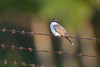 Eastern Kingbird-46195.jpg