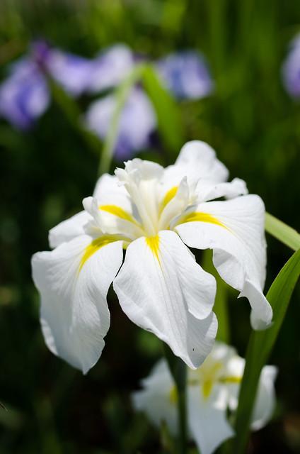 Iris, white wide