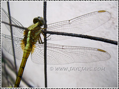 A chartreuse-bodied dragonfly, shot June 17, 2013 (ID please, anyone?)
