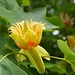 tulip tree - Photo (c) Kew on Flickr, some rights reserved (CC BY-NC-SA)