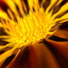 Gratuitous flower shot of the day #olloclip #flowers #gazania