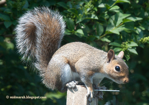 IMG_6321 Squirrel
