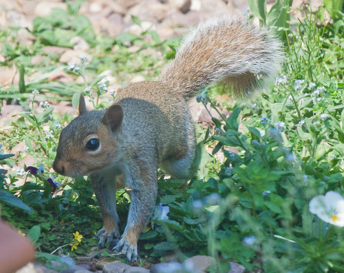 IMG_6320 Squirrel