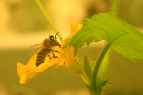 Little bee in the cucumber flower