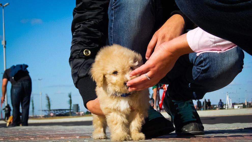 Un cachorro de Labrador Retriever es foco de atención en los paseos de la Costanera de Asunción durante una tarde de sábado (Elton Núñez).