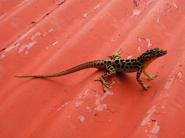 Lizard on a red roof