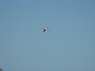 078 vliegende flamingo