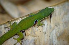 Peacock Day Gecko (Phelsuma quadriocellata) (captive specimen)