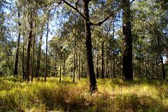 Casuarina torulosa, Eucalyptus resinifera, Themeda triandra and Imperata cylindrica, Mt Zero, WNW of Townsville, QLD, 27/03/05
