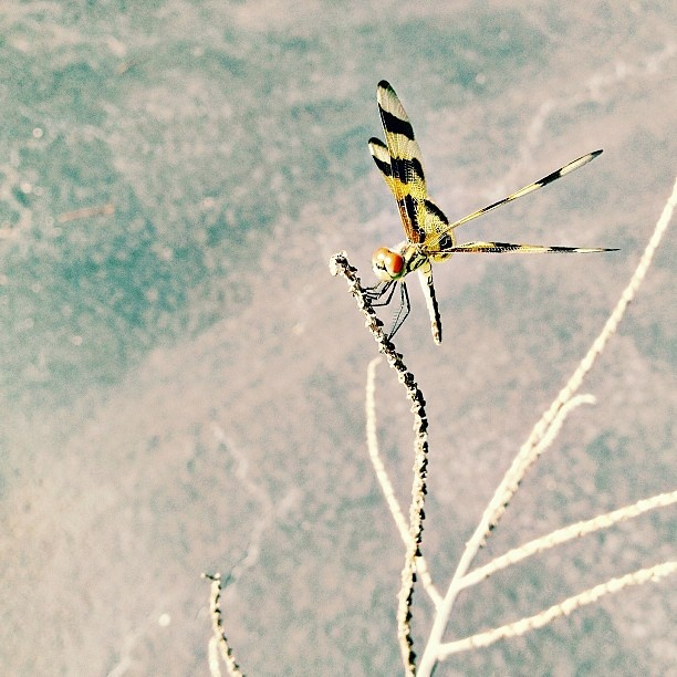 #dragonfly on a branch #iphoneonly #yesthisisaniphoneshot #focus #insects #igersftl #southflorida #pictapgo_app