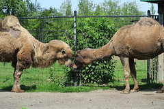 Camels drinking water (9)