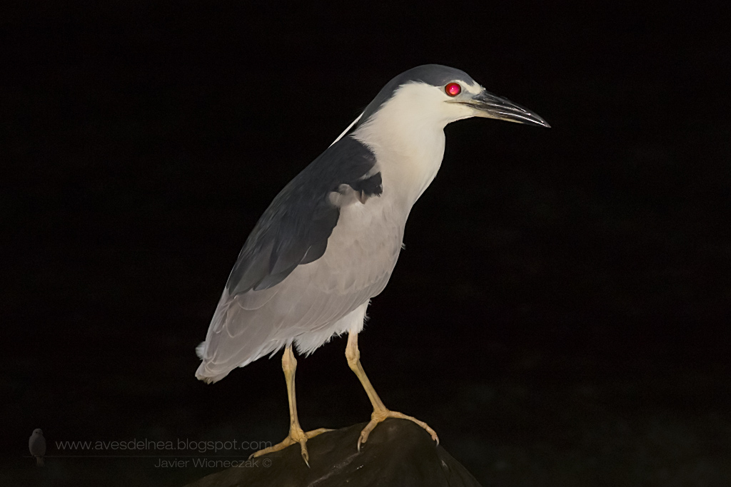 Garza bruja (Black-crowned Night Heron) Nycticorax nycticorax