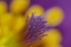 Pasque Flower (Pulsatilla vulgaris) pistil close-up