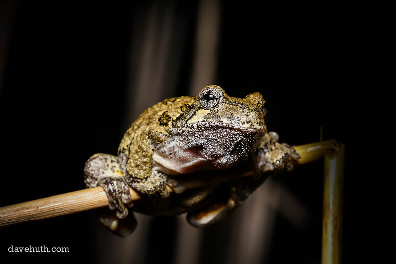Gray Treefrog (Hyla versicolor) - male, photographed during spring breeding event