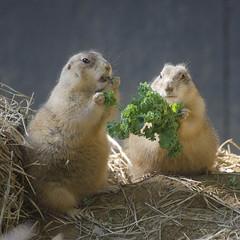 Prairie dog companions