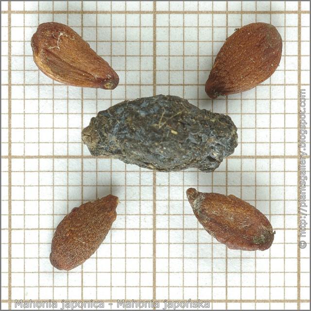 Mahonia japonica seeds - Mahonia japońska nasiona