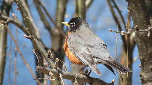 Merle D'Amérique - American Robin  Lasalle  13 Avril 12  IMG_0448 by Diane G....Thanks for over 50,000 Views....