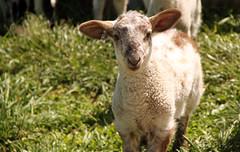 Crossbred ewe lamb
