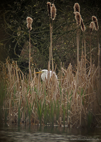 Great White Egret at Radwell
