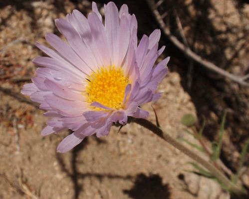 Mojave Aster 01