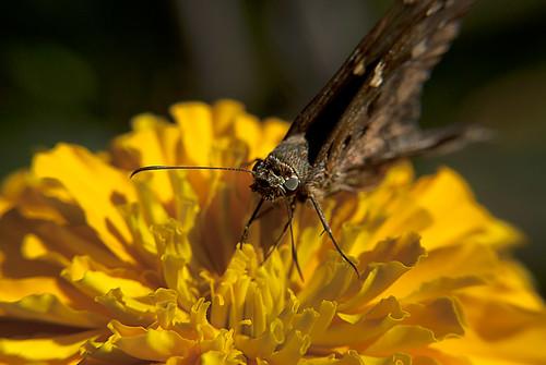 Dark butterfly  - Flower