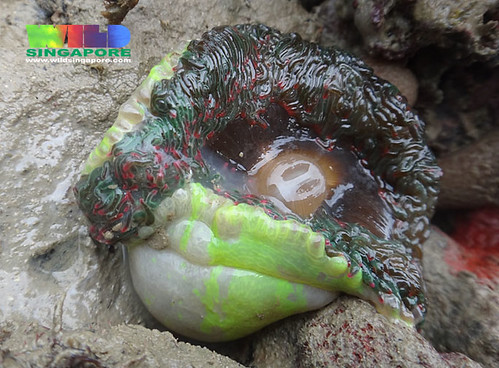 "Unidentified ""Neon"" sea anemone"