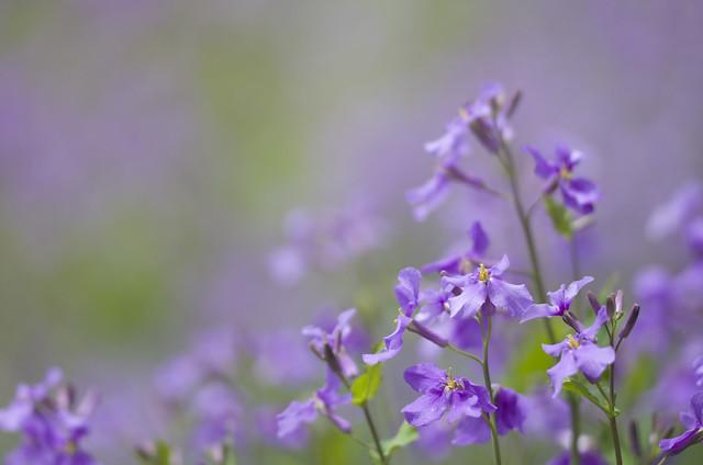 紫花菜 / オオアラセイトウ