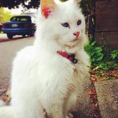 persian(0.0), kitten(0.0), domestic long-haired cat(1.0), animal(1.0), turkish van(1.0), small to medium-sized cats(1.0), pet(1.0), mammal(1.0), turkish angora(1.0), ragdoll(1.0), cat(1.0),
