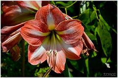 amaryllis belladonna, lily, flower, plant, flora, close-up, plant stem, daylily, petal,