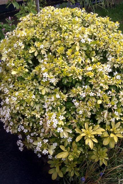 A Choisya bush in bloom