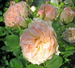 rosa foetida(0.0), garden roses(1.0), rosa 㗠centifolia(1.0), floribunda(1.0), flower(1.0), flora(1.0), petal(1.0),