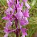Orchis olbiensis, Queribus
