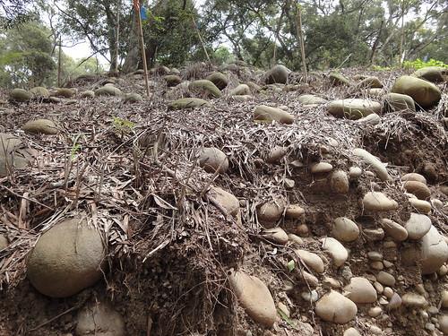 森林中造林,使用割草機、除草劑清除地被層,生態學會提供