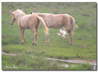Ponei & Cattle Egret