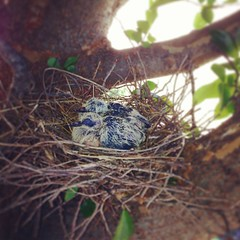 mama bird tried to attack the man pruning our tree...i didn't know we had a feathered family budding in our front yard!