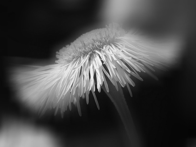 Fleur Marguerite Sauvage En Noir Et Blanc Flickr Photo