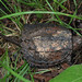 baby snapping turtle by myriorama