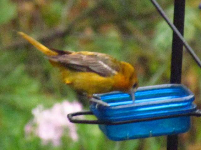 Oriole fledgling1 7:1:13