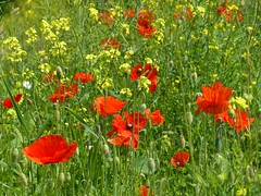 annual plant, prairie, flower, field, plant, herb, wildflower, coquelicot, meadow, grassland, poppy,
