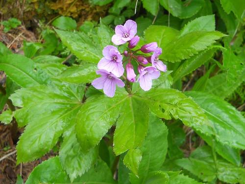 Showy Toothwort (Cardamine pentaphyllos)