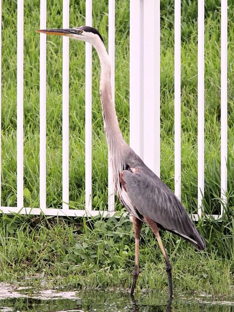 Great Blue Heron 2-20130615