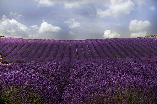 violet viola francia provenza lavanda scient profumo