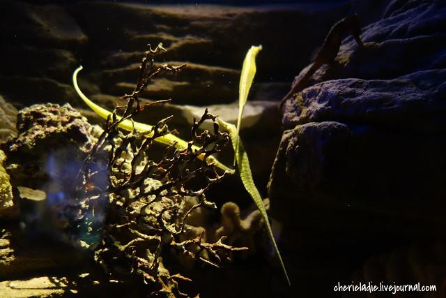 green sea horses in sydney aquarium